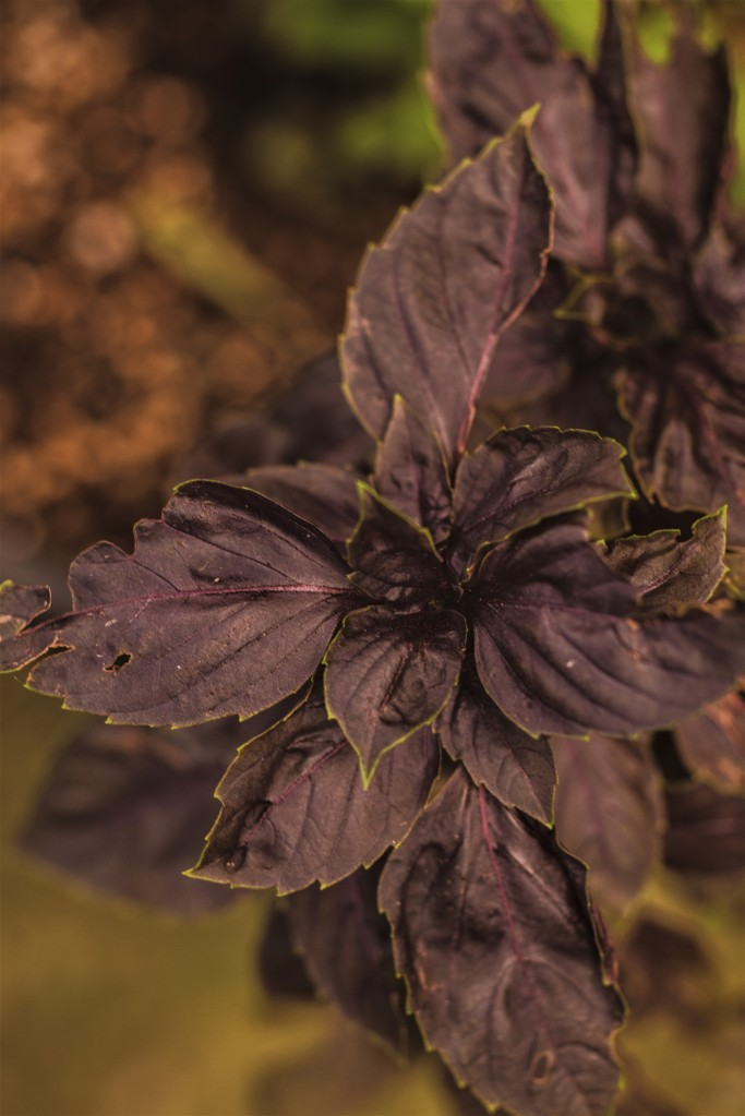 This image has an empty alt attribute; its file name is purple-basil.jpg